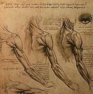 Рисунок Леонардо да Винчи, мышцы